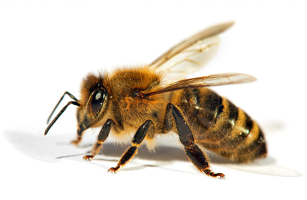 Bee control we love bees and bee control is our 1 skill dont some are bees some are wasps but many of them are not honey bees the subject of this page check this link out on youtube for a mega bee hive sciox Choice Image